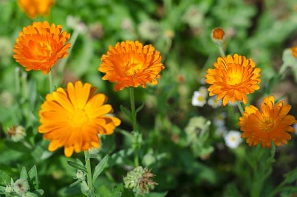 Hildegarde de Bingen a été la première à s'en servir pour soigner les maladies de la peau et notamment pour lutter contre la teigne du cuir chevelu.Cette fleur, était préconisée contre les piqures et morsures d'animaux venimeux.